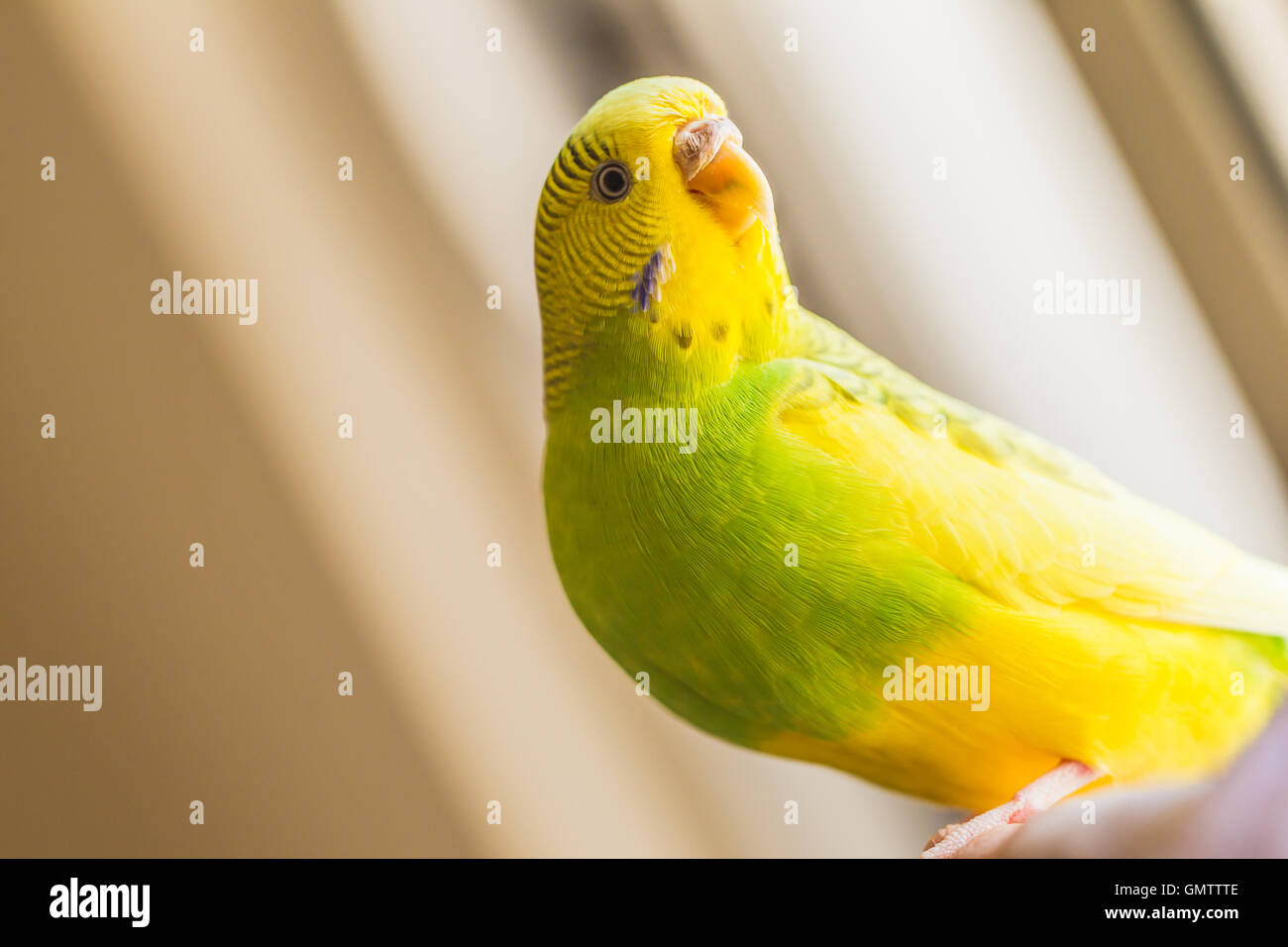 Green and yellow pied budgerigar parakeet sitting on a finger looking our of a window. She is lit with natural light - Stock Image