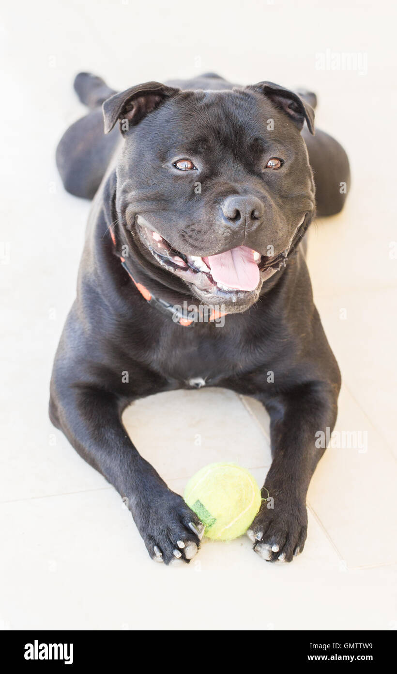 Smiling Staffordshire bull terrier dog, bull breed, with a happy expression, he is a black brindle pedigree dog, - Stock Image
