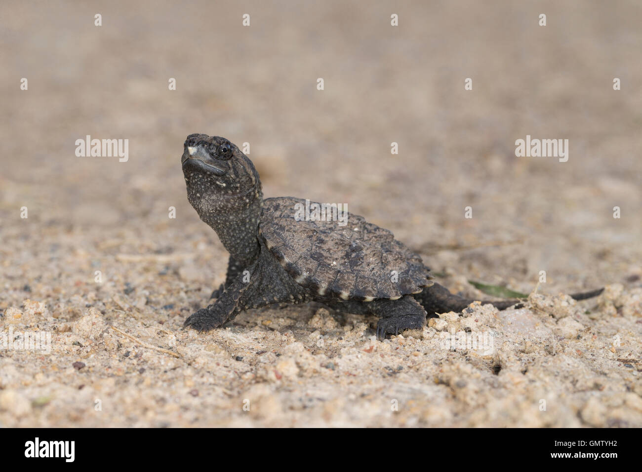 Snapping Turtle Hatchling Stock Photo