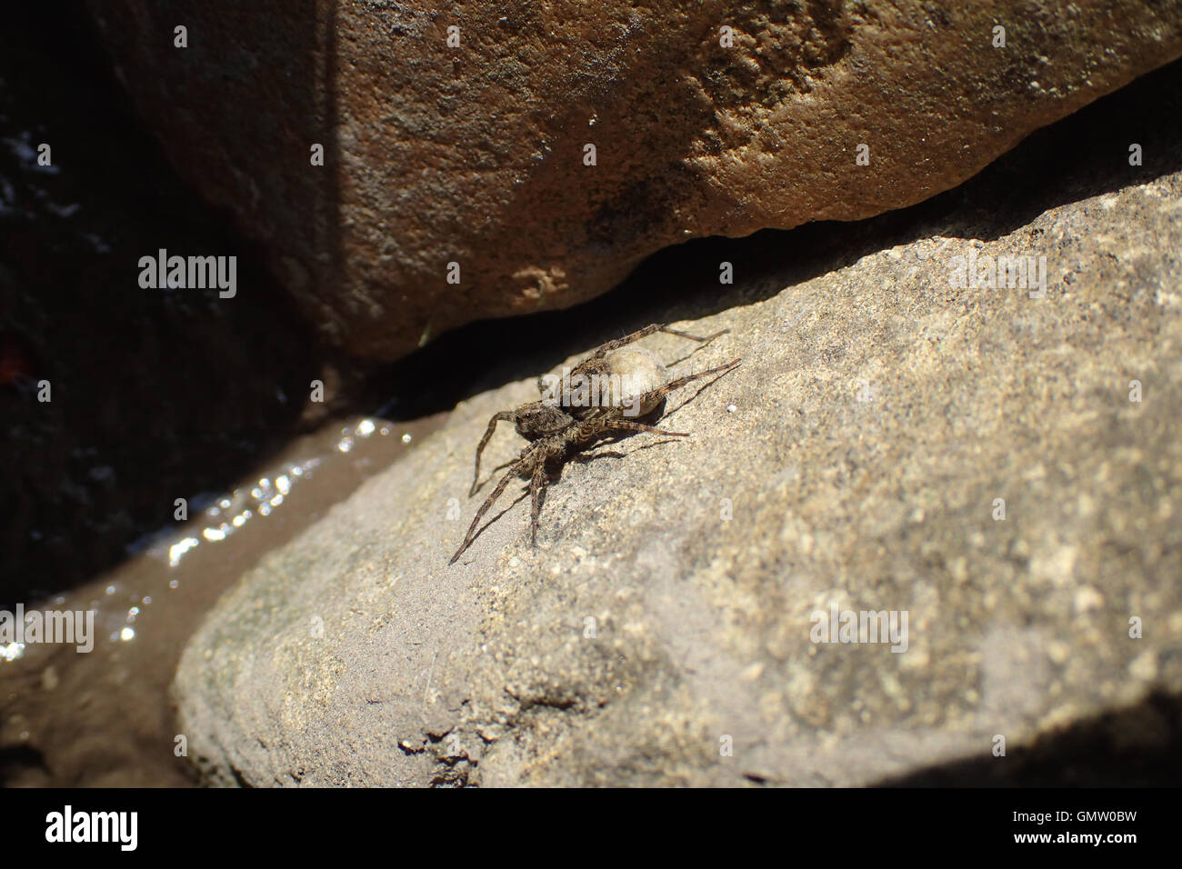 Close-up of female spotted wolf spider (Pardosa amentata) carrying egg sac and sunbathing on sandstone at the edge - Stock Image