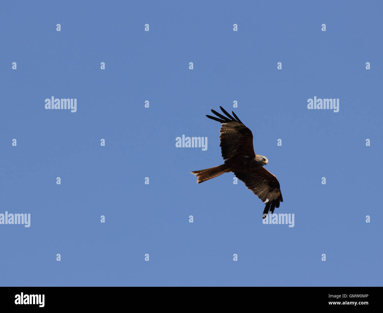 Red kite (Milvus milvus) soaring in flight against blue sky with sun on head and front of wing, seen from below - Stock Image