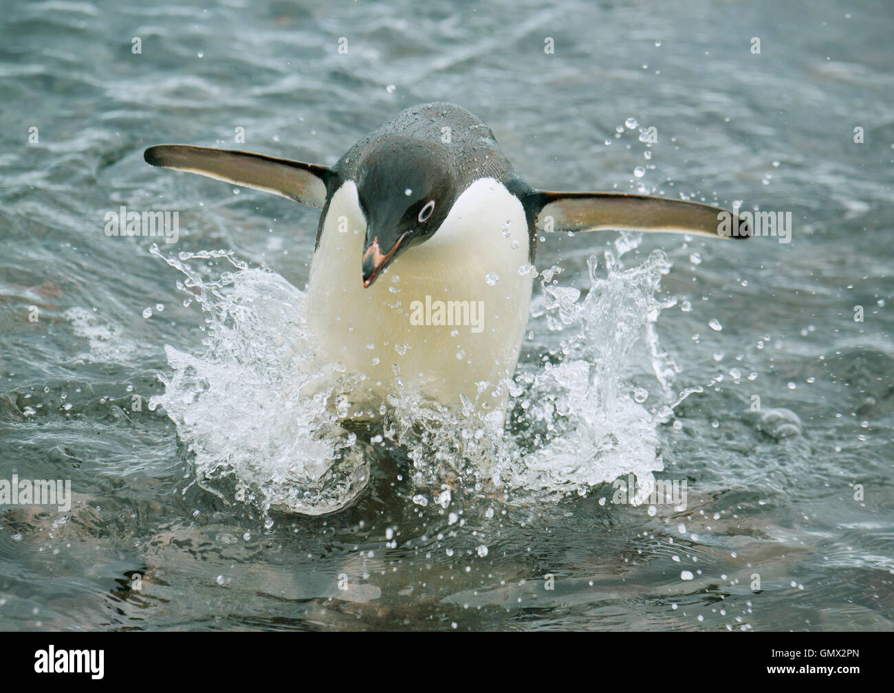 Adelie Penguin (Pygoscelis adeliae) splashing as it comes out of the water, Paulet Island, Antarctica - Stock Image