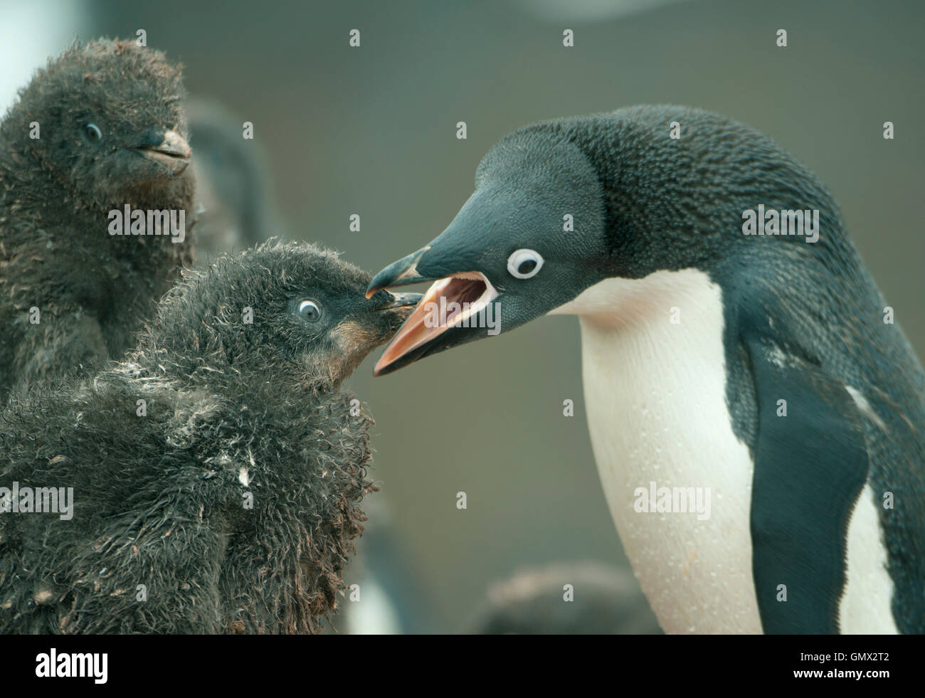 Adelie Penguin (Pygoscelis adeliae) feeding hungry chicks, Paulet Island, Antarctica - Stock Image
