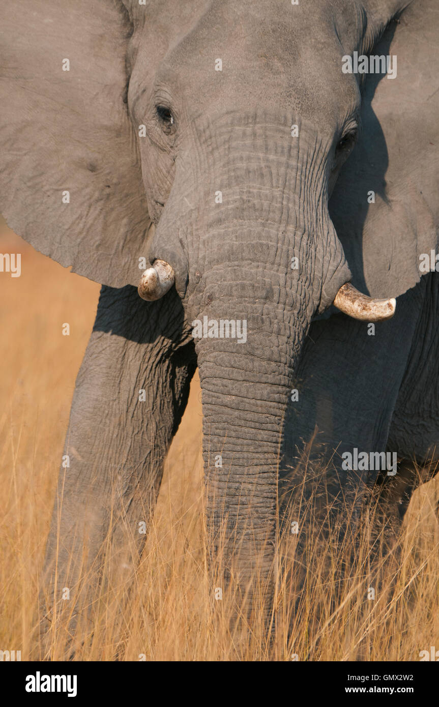 African Elephant, close up in brown grass, Masai Mara Reserve, Kenya - Stock Image