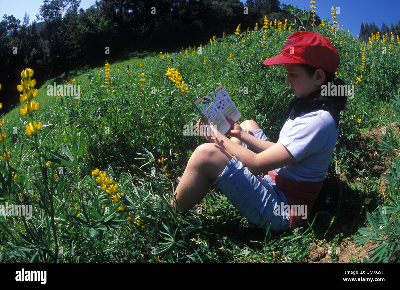 Girl identifying flowers by a plant guide book. Siting on the ground in the middle of a Yellow bush lupine, Lupinus - Stock Image