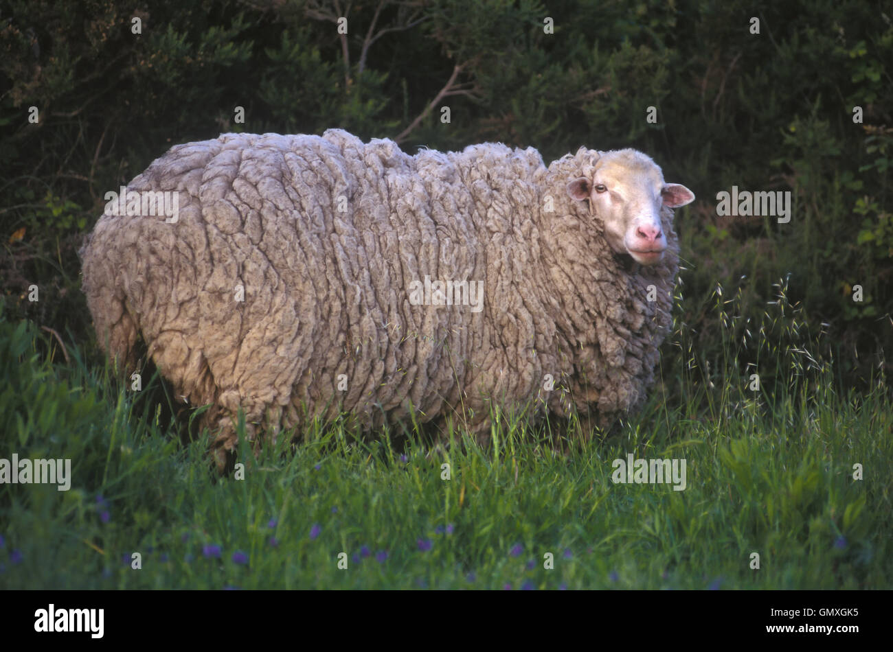 Sheep on the meadow before clipping. Female. Portugal - Stock Image