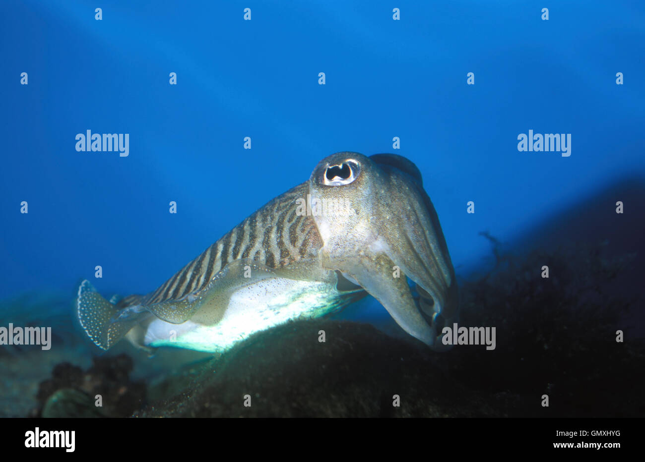 Common cuttlefish, Sepia officinalis. Courtship colours. Portugal Stock Photo