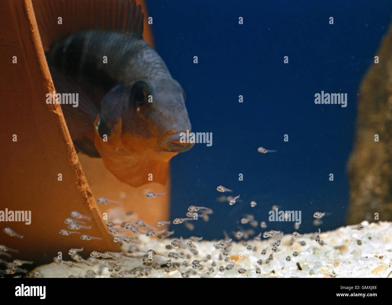 Firemouth cichlid, Thorichthys meeki. Male guarding brood. Aquarium. Portugal. - Stock Image