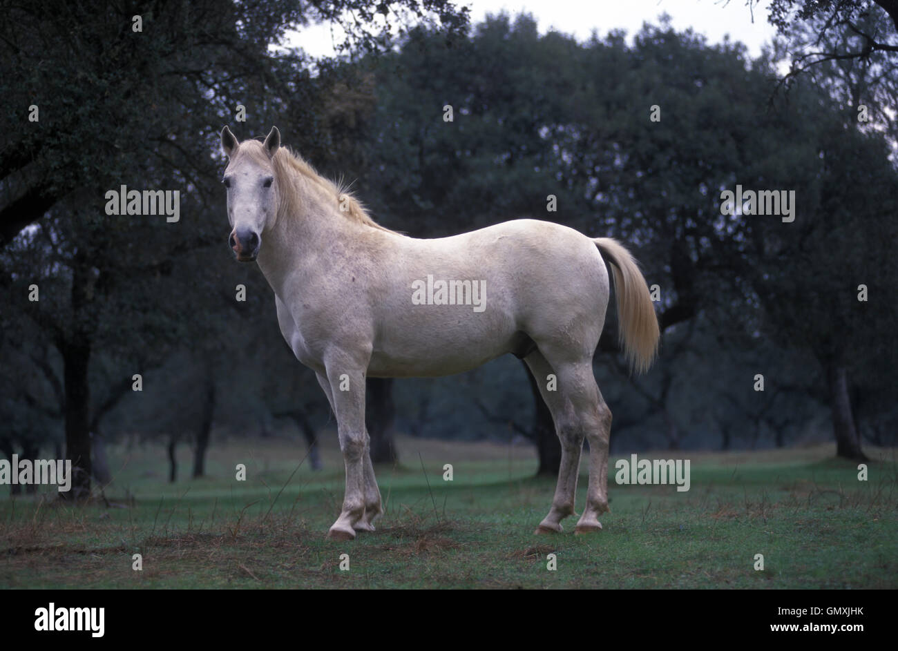 Lusitano horse on the field. Portugal Stock Photo