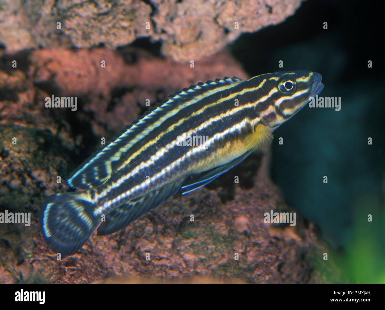 Marlieri Cichlid, Julidochromis marlieri. Aquarium. Portugal. - Stock Image