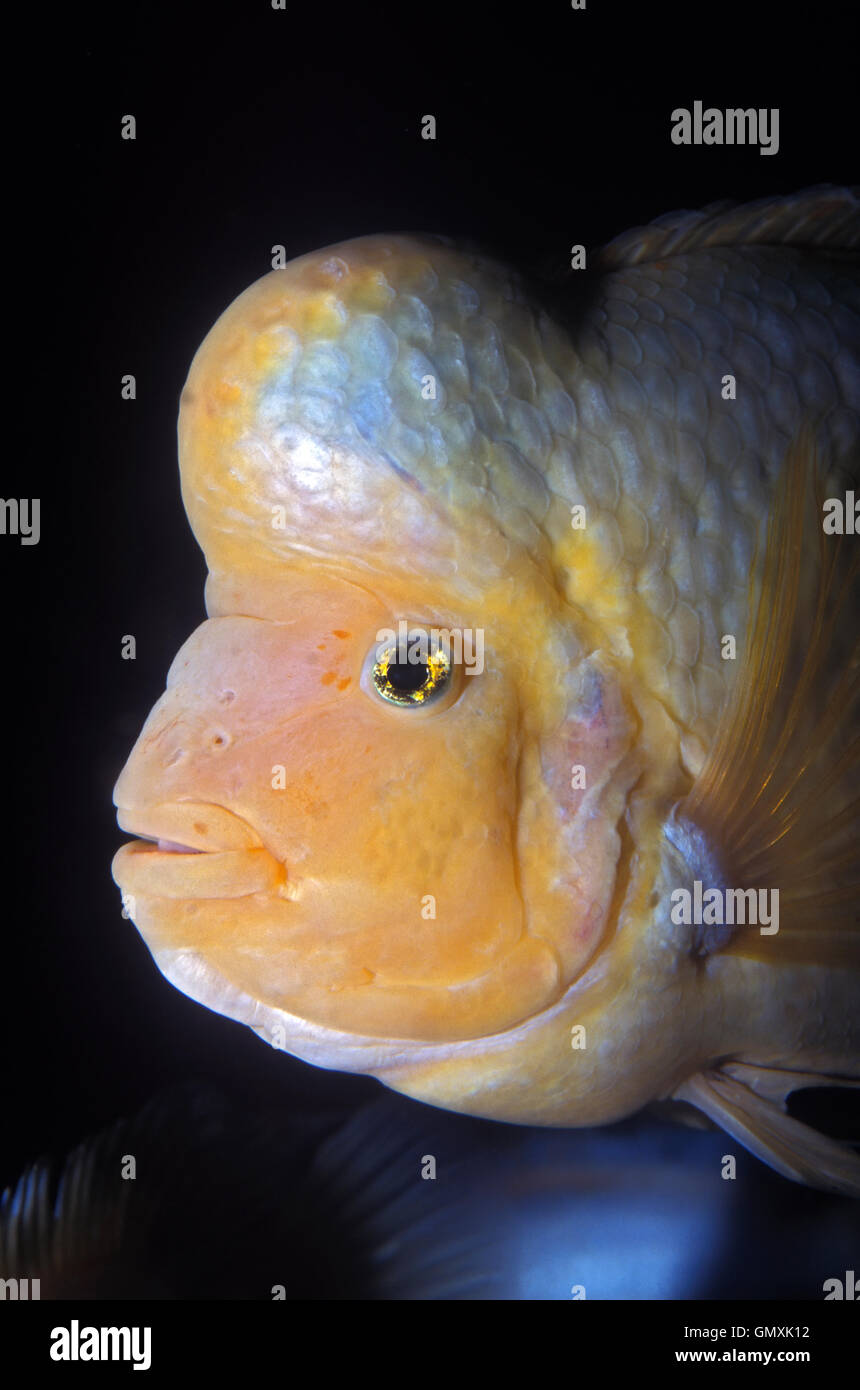 Midas Cichlid, Amphilophus Citrinellus.  Mature male presenting the characteristic large hump on the head. Aquarium. - Stock Image