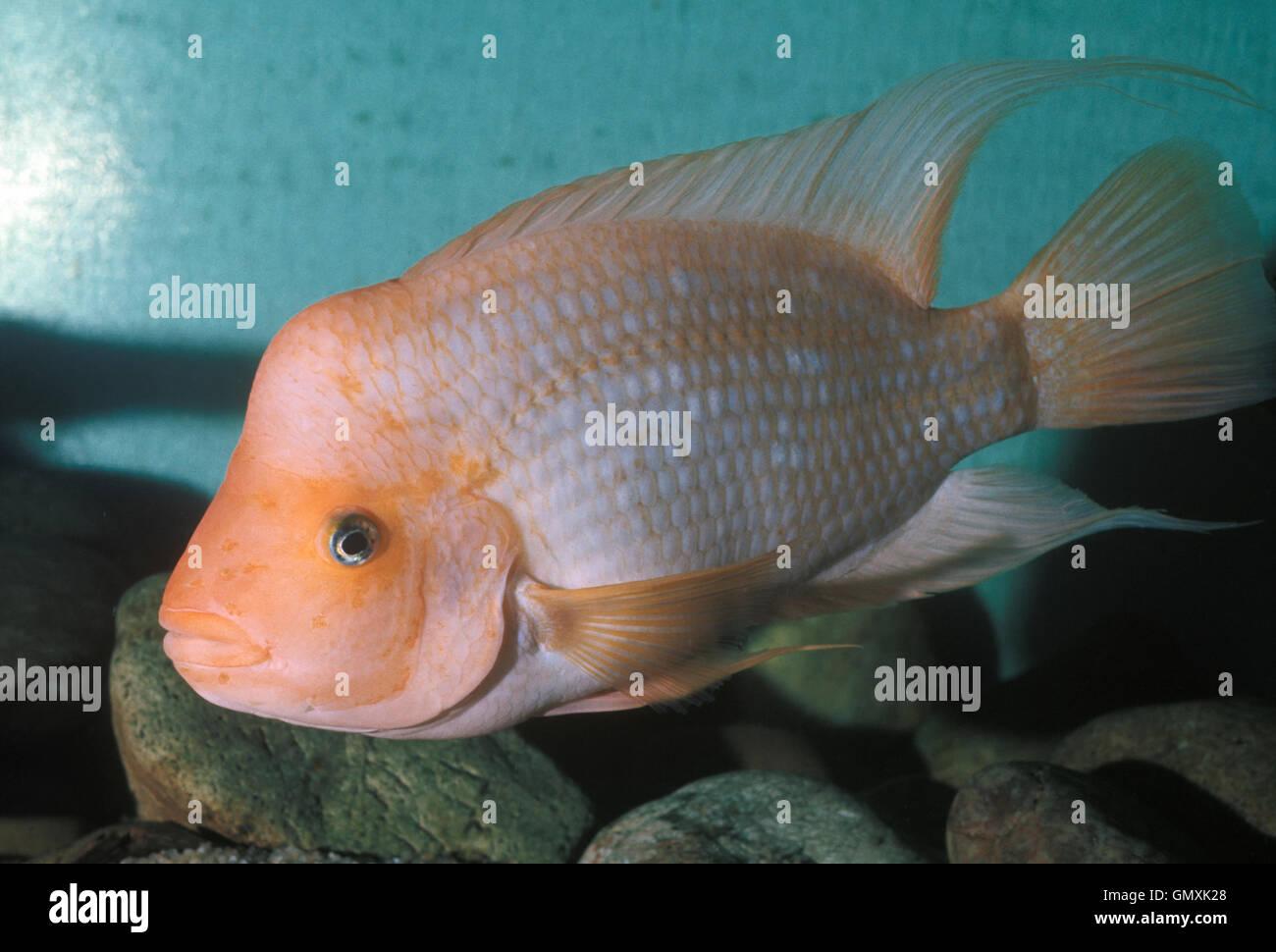 Midas Cichlid, Amphilophus Citrinellus.  Young male presenting already  discreet hump on the head. Aquarium. France. - Stock Image