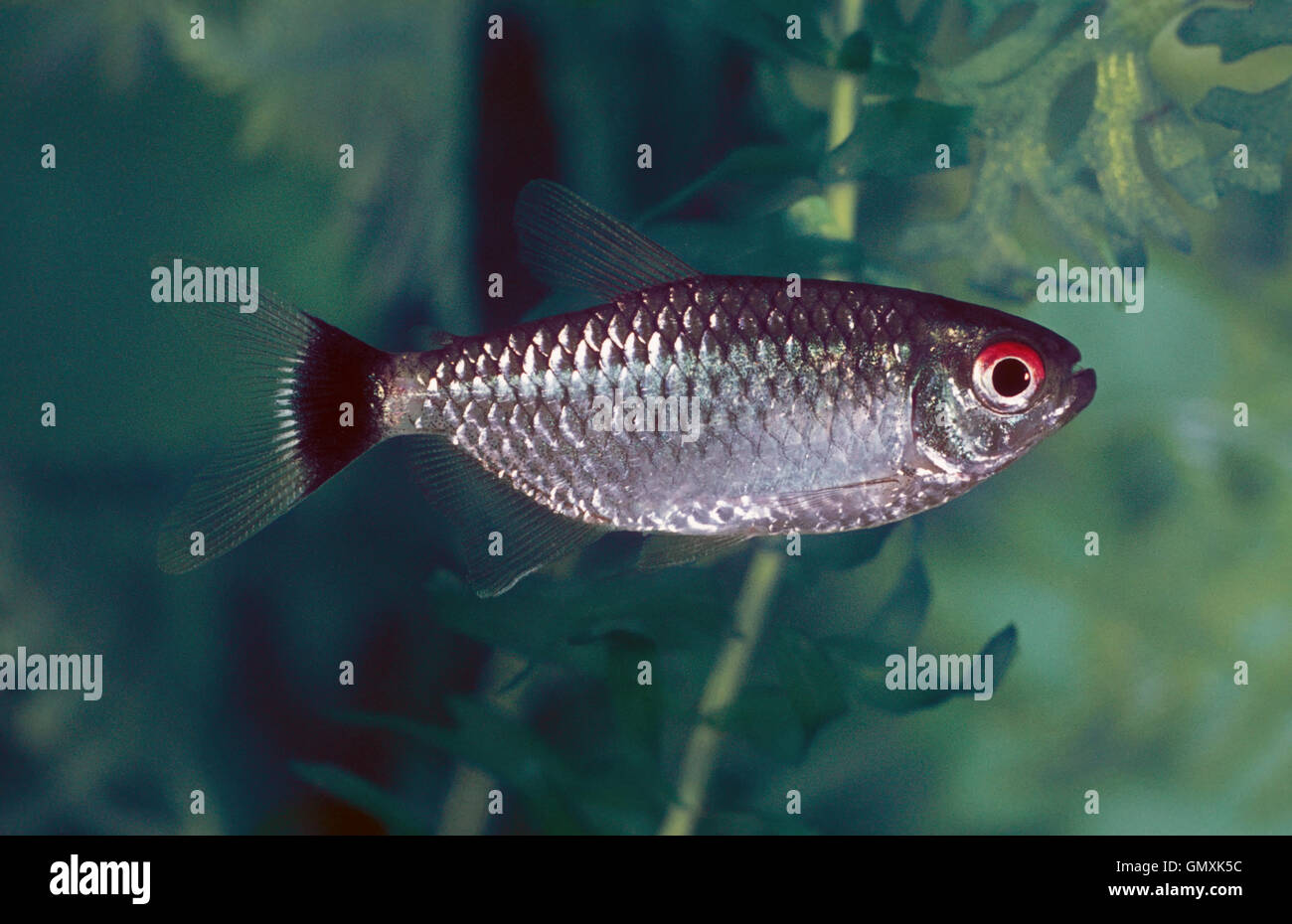 Red Eye Tetra, Moenkhausia sanctaefilomenae.  Aquarium fish - Stock Image