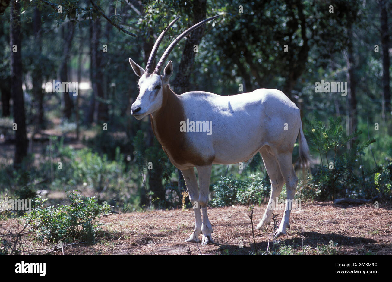 Scimitar Oryx or Scimitar-horned Oryx, Oryx dammah. This species is extinct in the wild. Zoological Park. Portugal - Stock Image