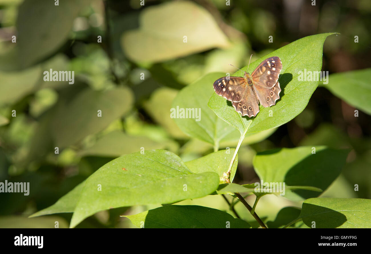 Speckled Wood - Butterfly (Pararge aegeria)  Waldbrettspiel Schmetterling. - Stock Image