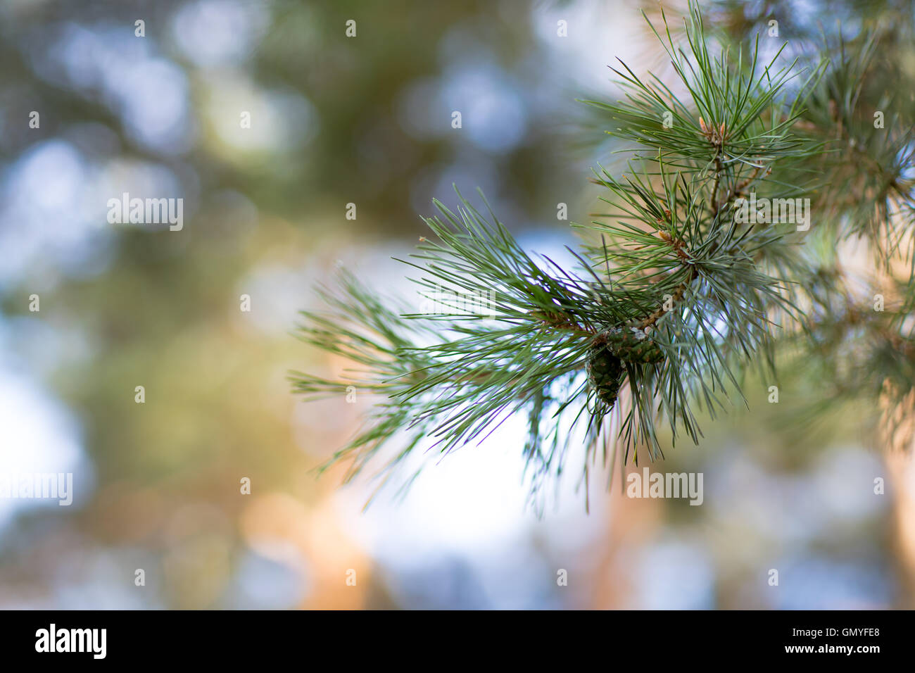Pine tree branch close-up. - Stock Image
