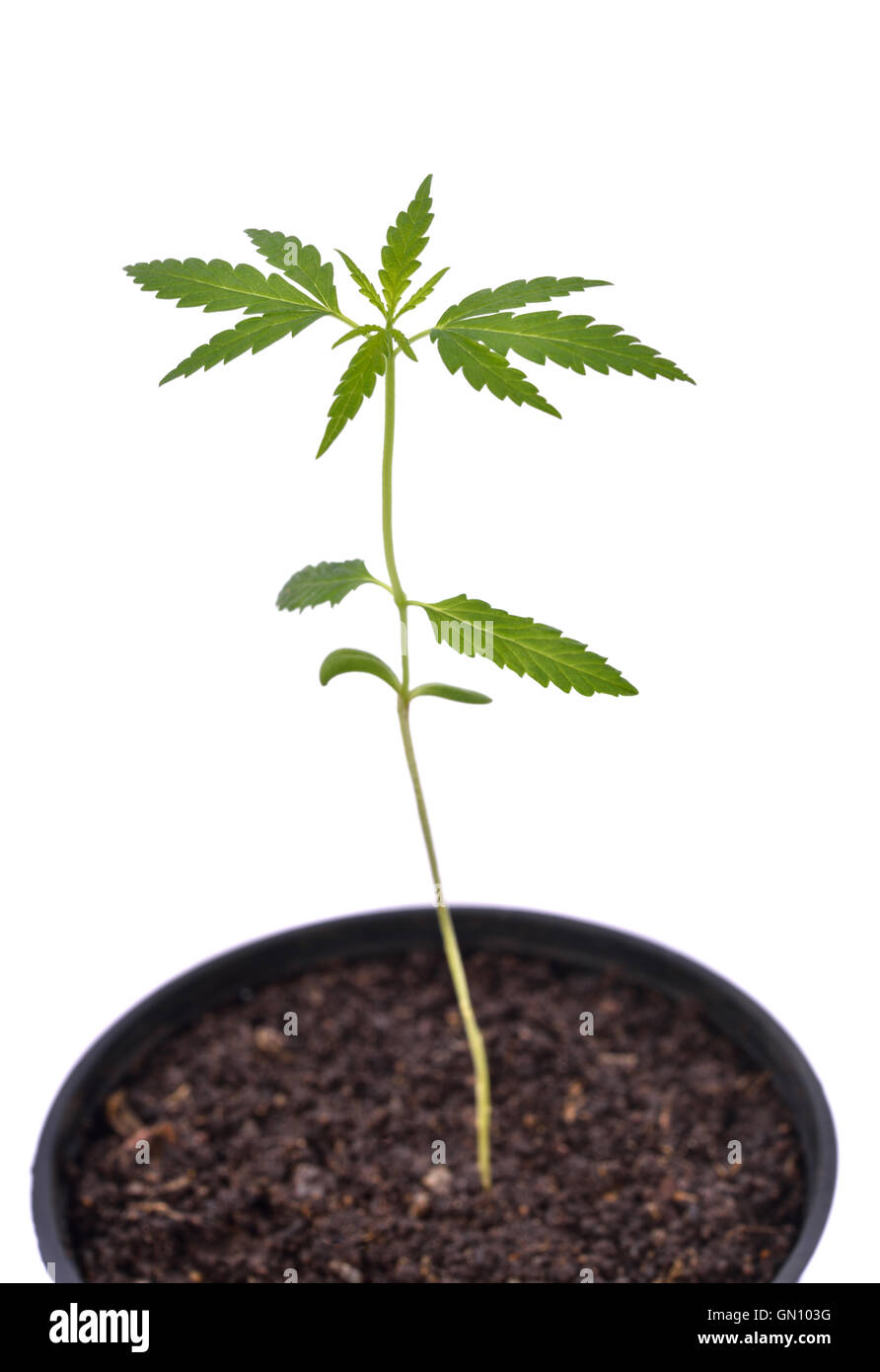 seedling of cannabis in planting pot - Stock Image