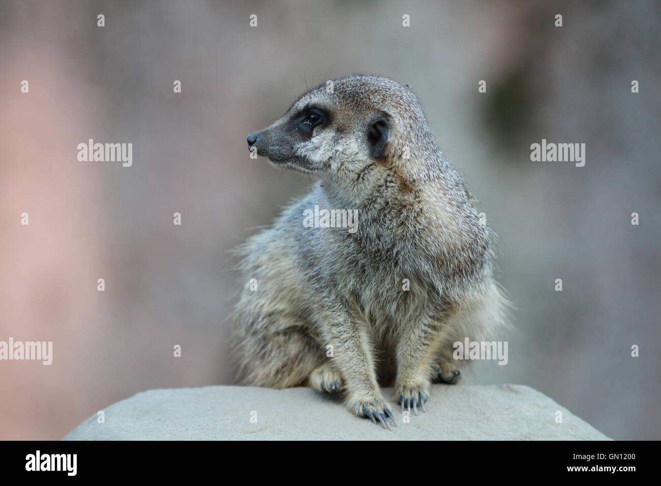 Close up of a meerkat (Suricata suricatta) sitting on a rock, looking to its side. - Stock Image
