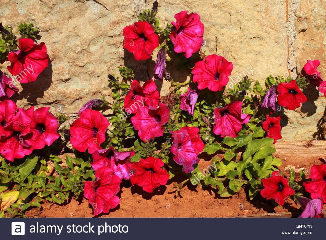A flower bed with small magenta flowers - Stock Image