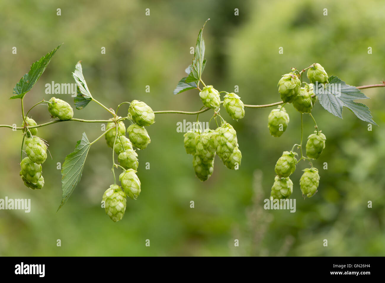 Hops (Humulus lupulus) flowers on vine. Green pendulous flowers on climbing plant in the family Cannabaceae, hanging - Stock Image