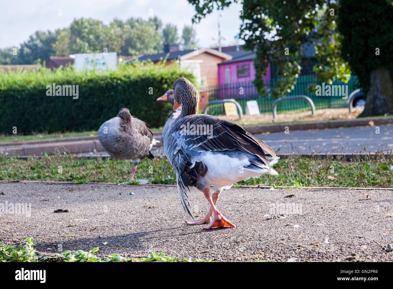 Northampton, Billing Aquadrome, 28th August 2016. A group of Greylag and Canada Geese with Angle Wings is observed - Stock Image