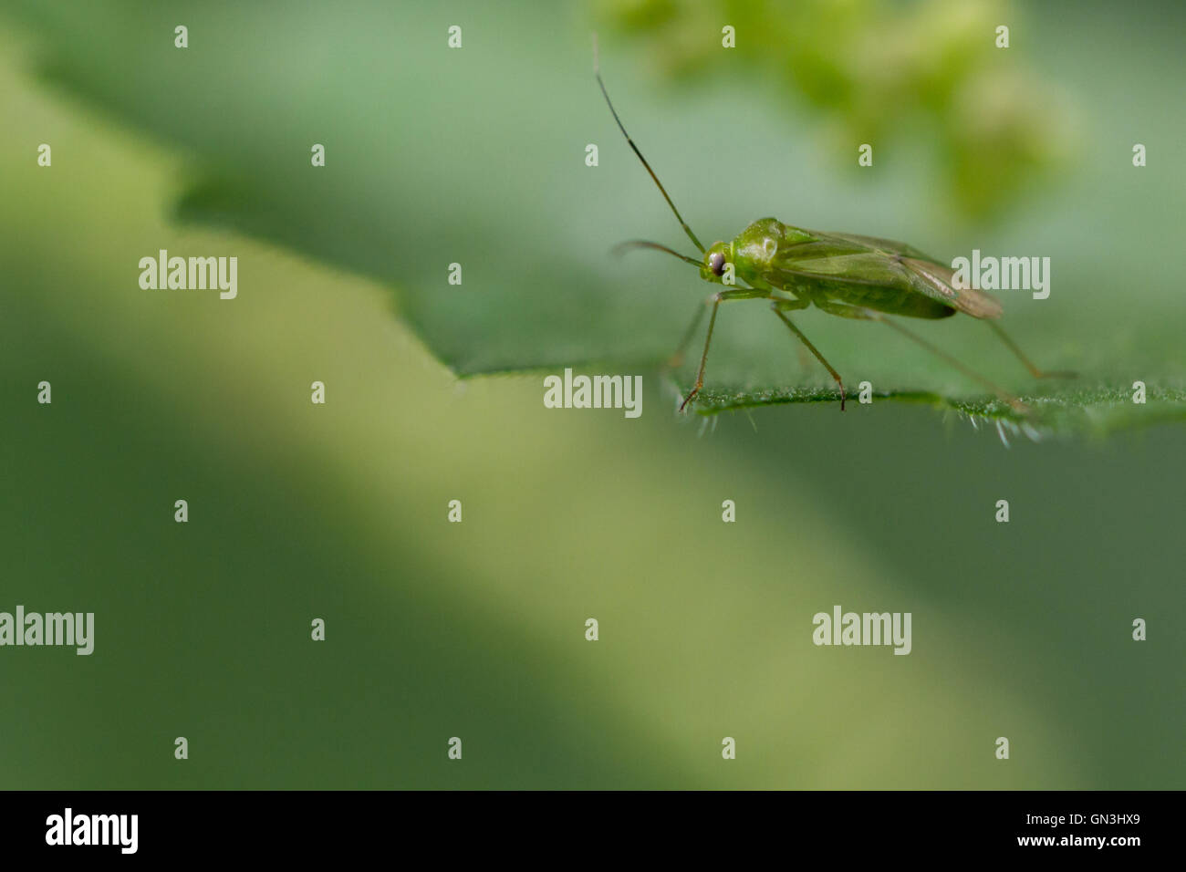 Lygocoris pabulinus, the common green capsid, Yorkshire, UK - Stock Image