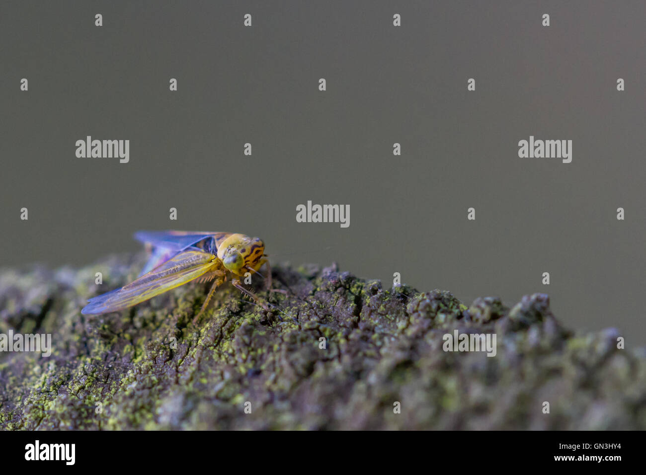 Newly hatched green leafhopper (Cicadella viridian) - Stock Image