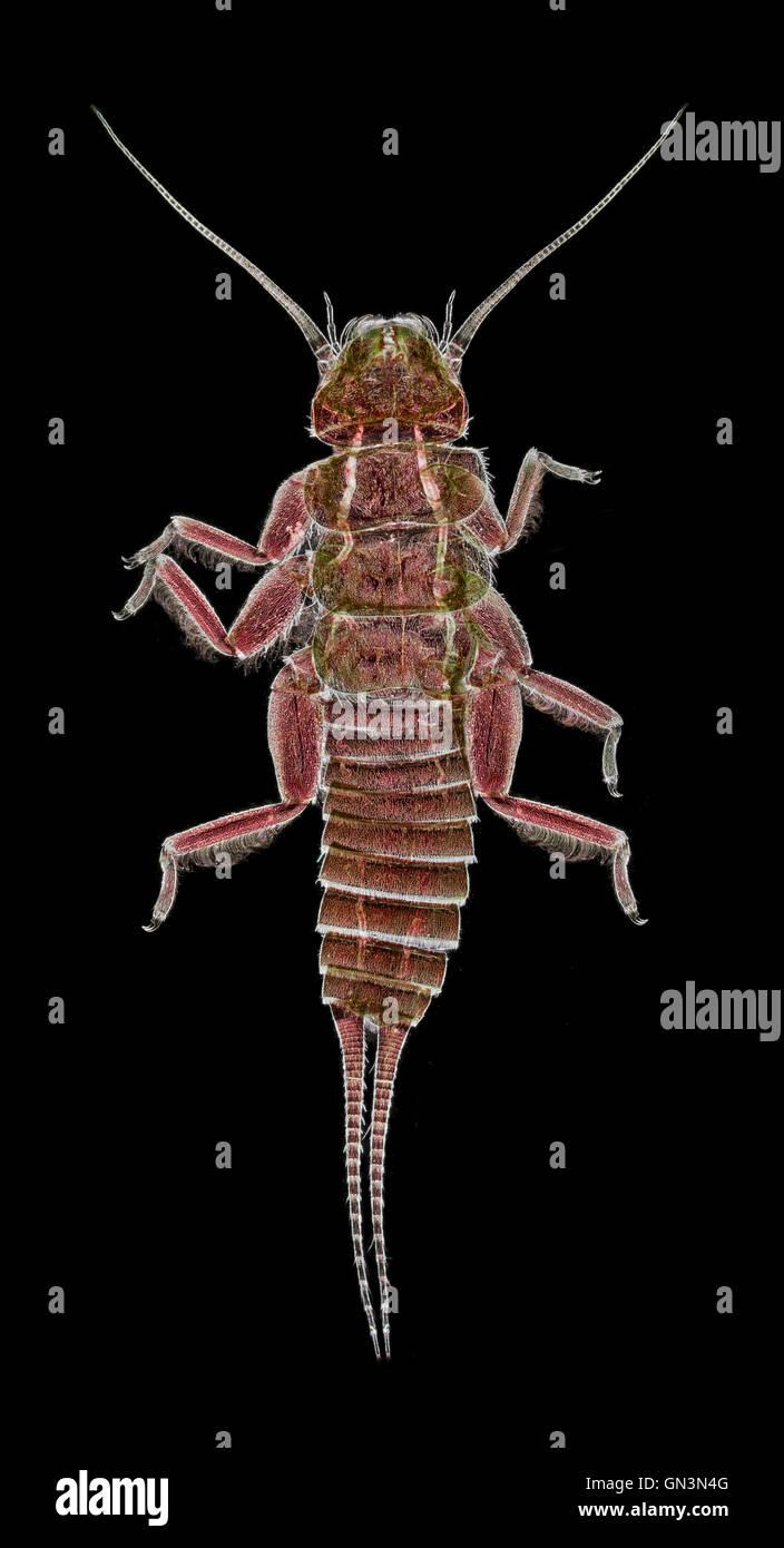 Stonefly larva, darkfield macro image - Stock Image