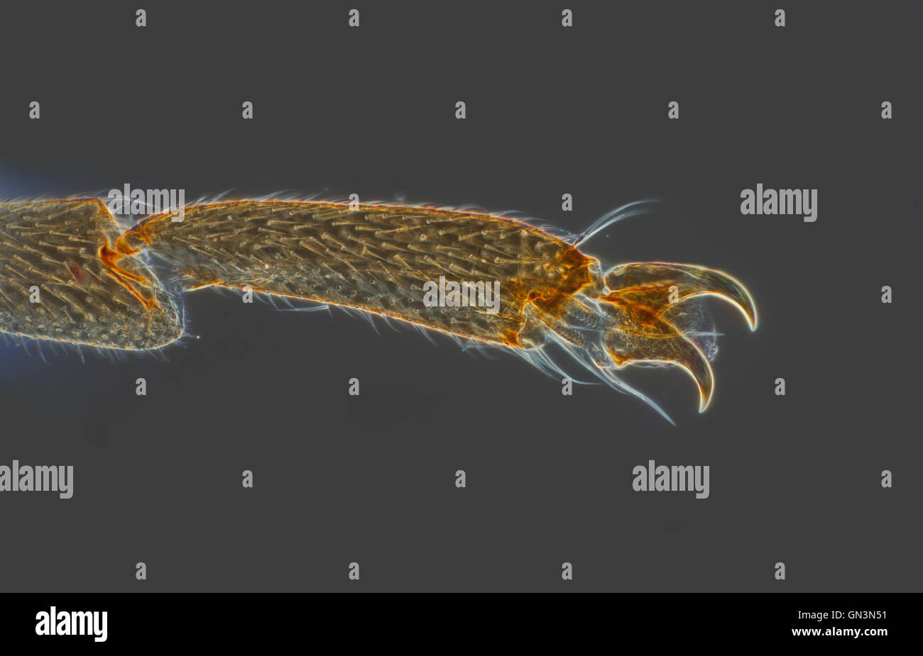 Stonefly leg, Plecoptera bracnypter male, darkfield photomicrograph - Stock Image