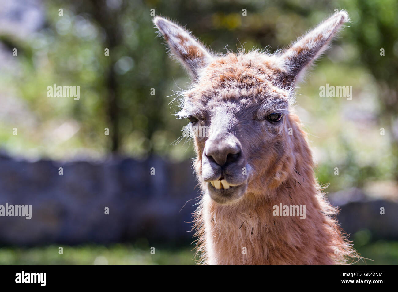 Close up of a llama in Chinchero Peru on a bright sunny day - Stock Image