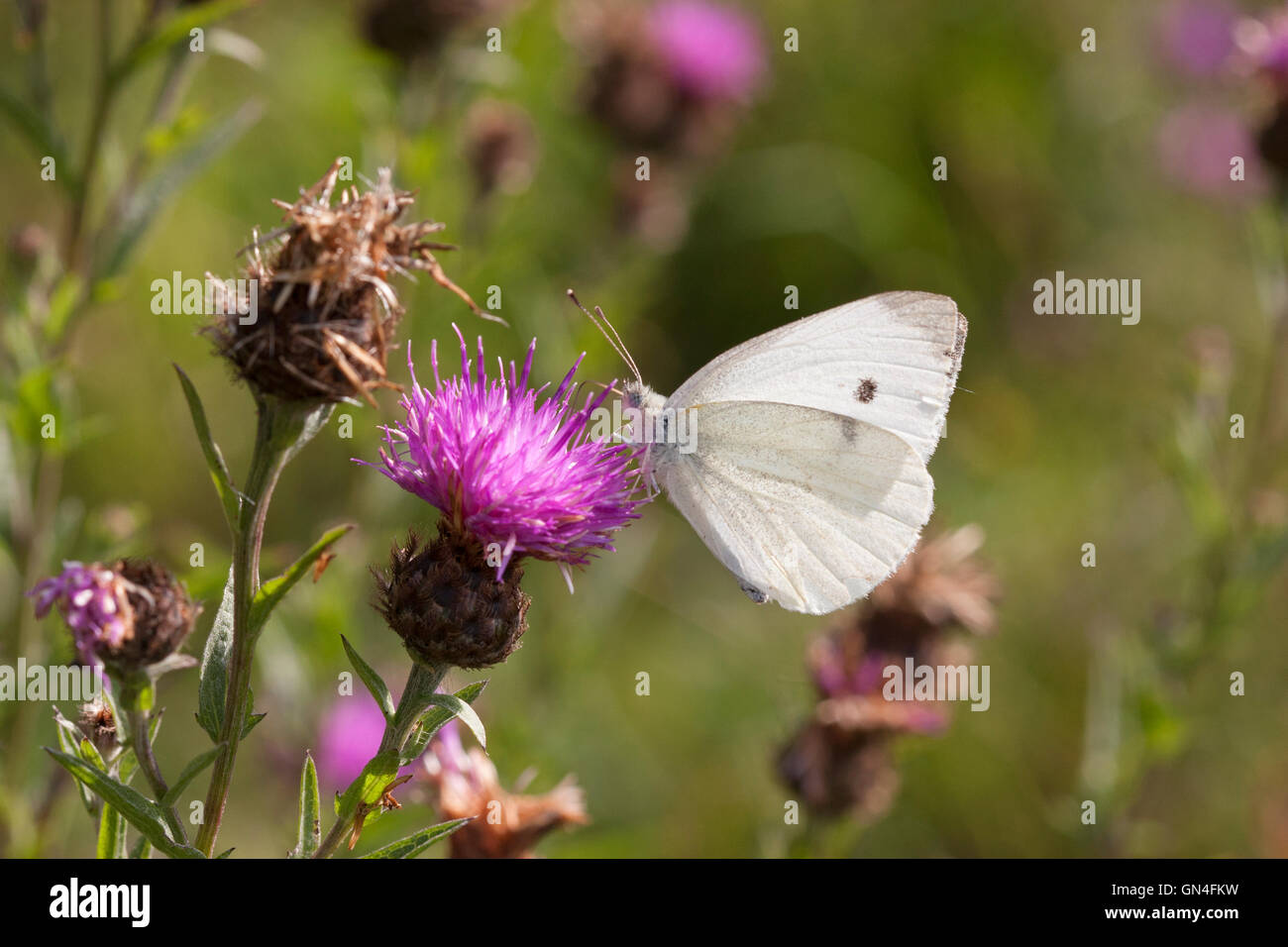 Large White Butterfly Pieris brassicae Single adult feeding on Common Knapweed Essex, UK - Stock Image