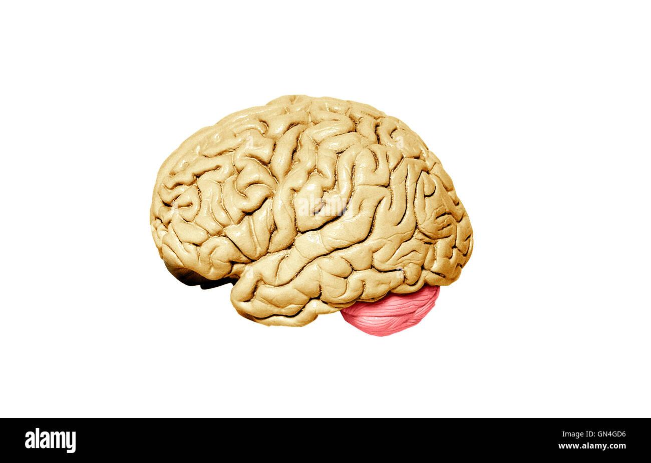 Human brain model on white background - Stock Image