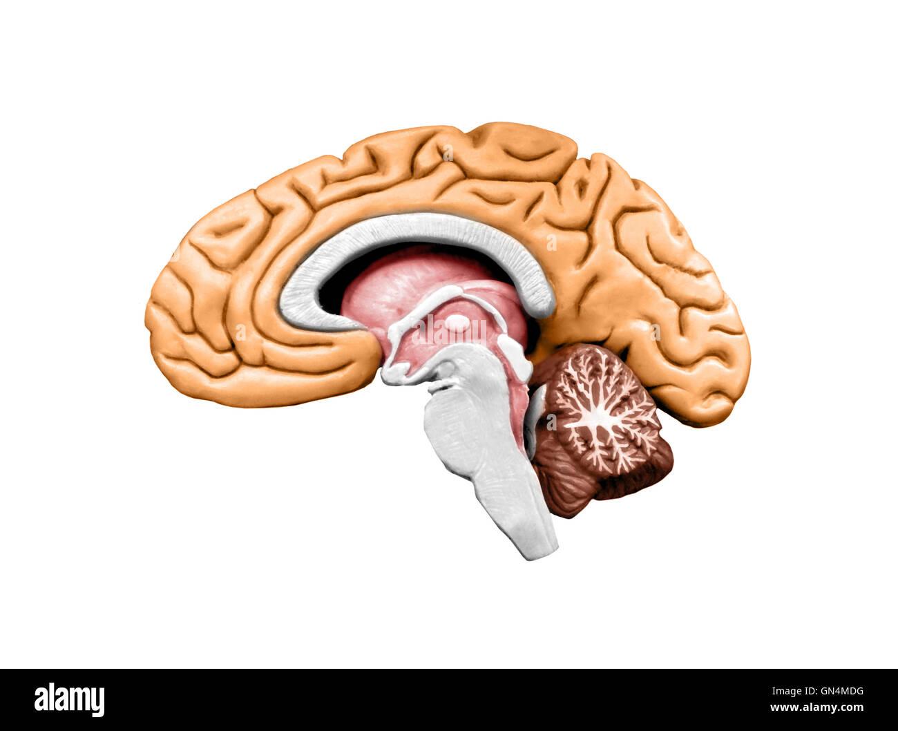 Brain model - Stock Image