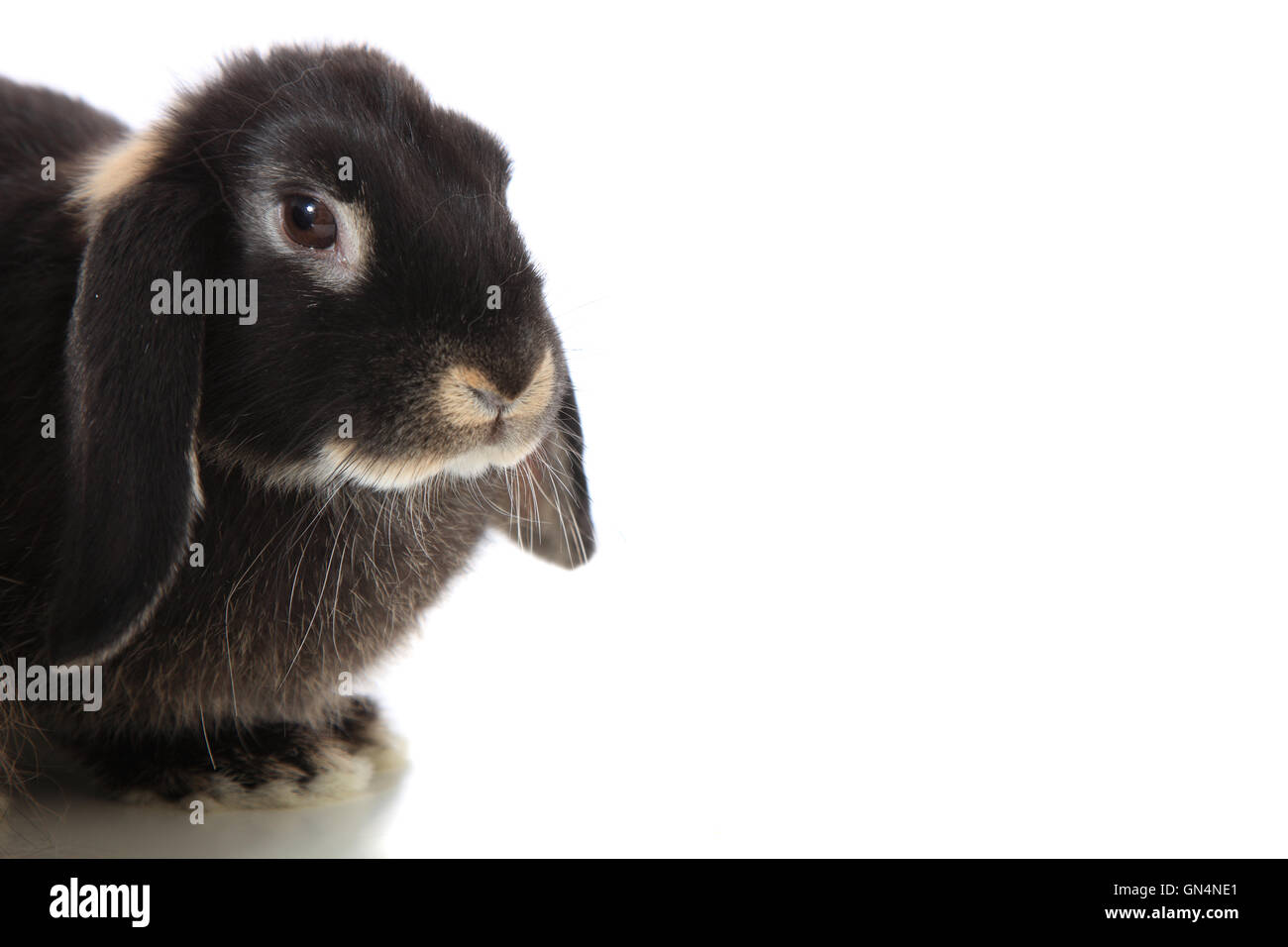 Black rabbit - Stock Image