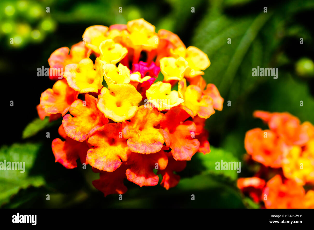 Close up of fiery yellow and orange Lantana camara, also known as wild sage and tickberry. Stock Photo