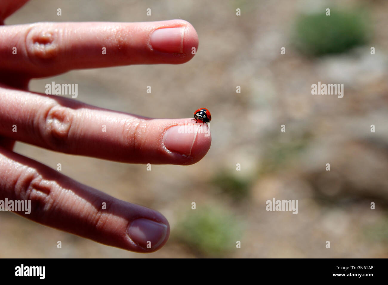 Ladybug in the middle finger, with open hand - Stock Image