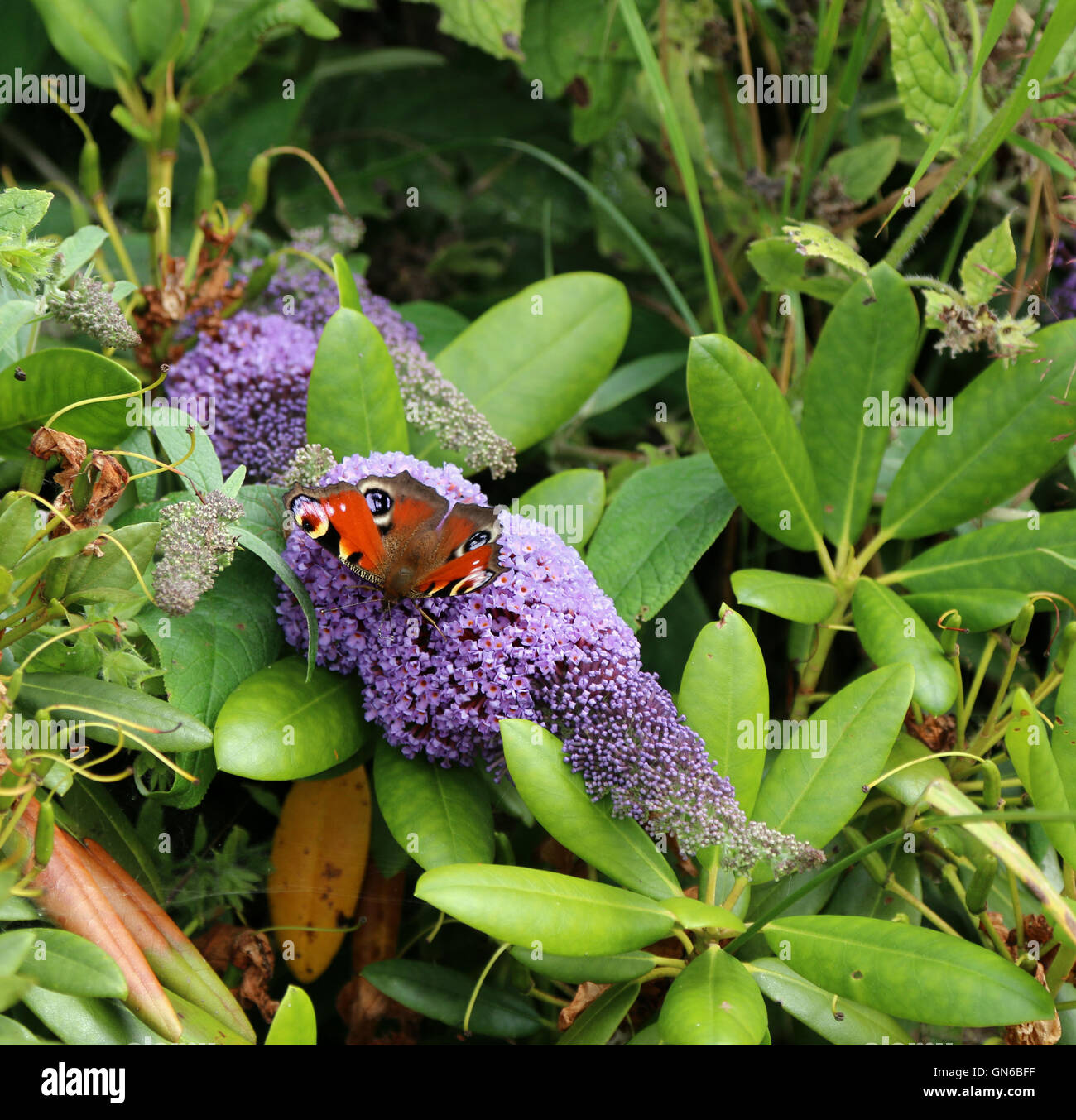 Peacock butterfly on buddleja - Stock Image