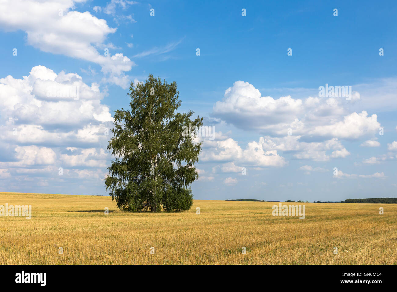 Lonely birch in a field. - Stock Image