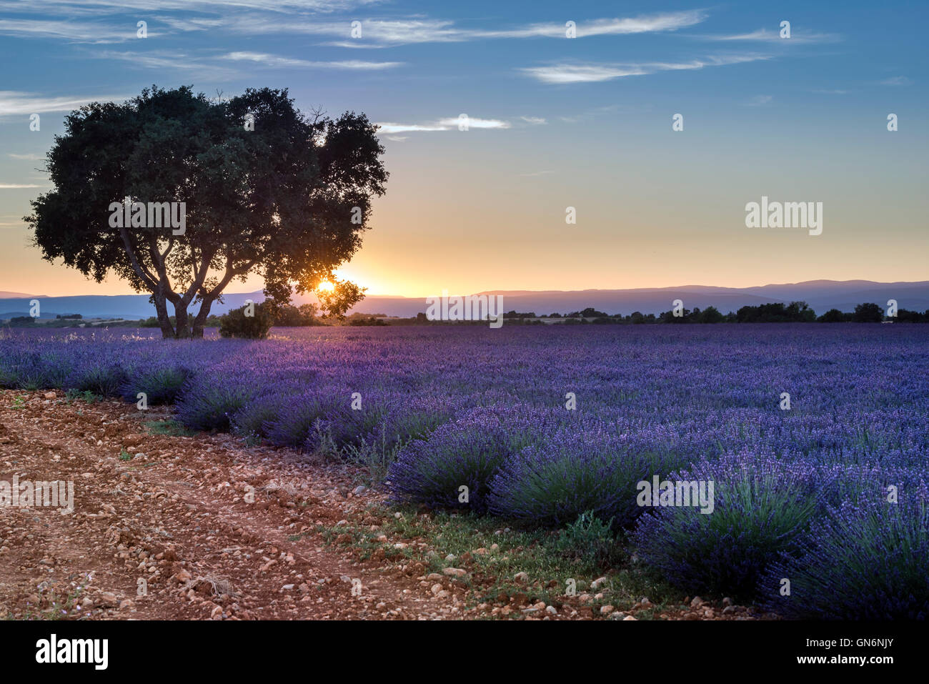 Lavender field summer sunset landscape Stock Photo