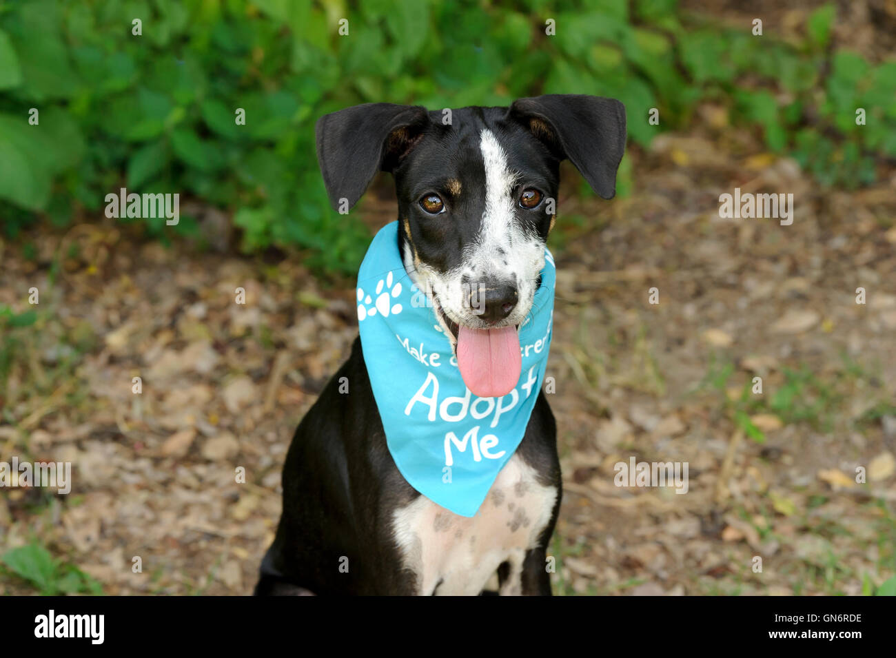 Dog adoption is a shelter animal with bright brown eyes and big adorable floppy ears hoping to be adopted by someone, - Stock Image