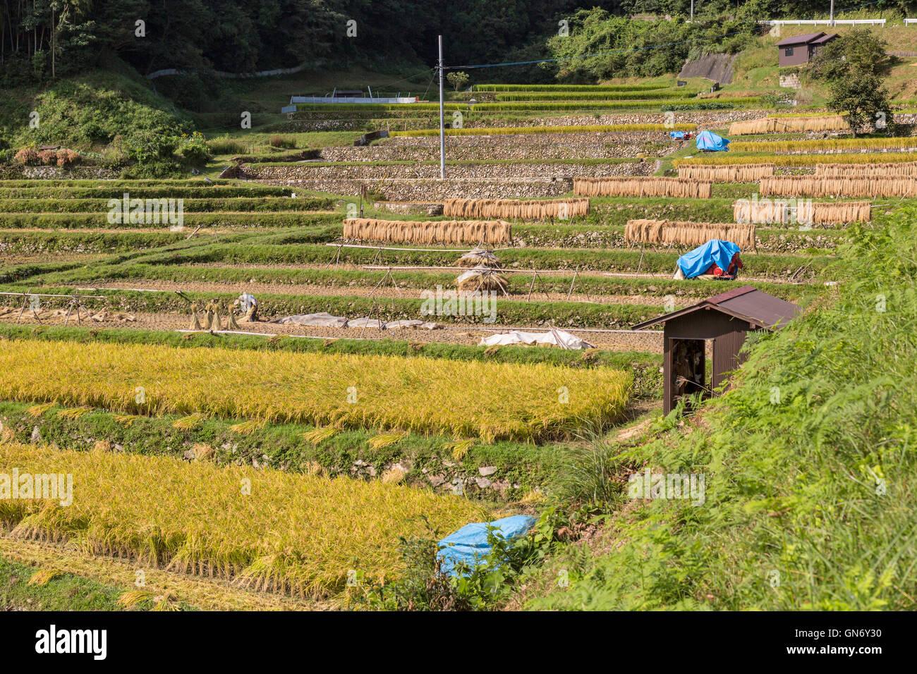 Rice Terraces of Tonomi, Hofu, Japan - Stock Image