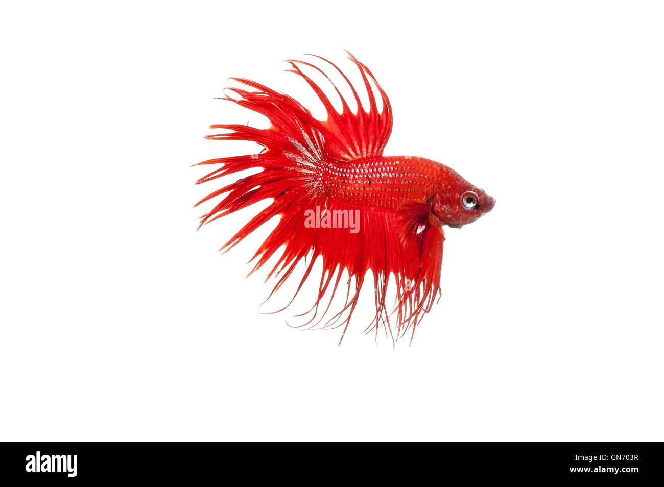Betta Fish Stock Photo