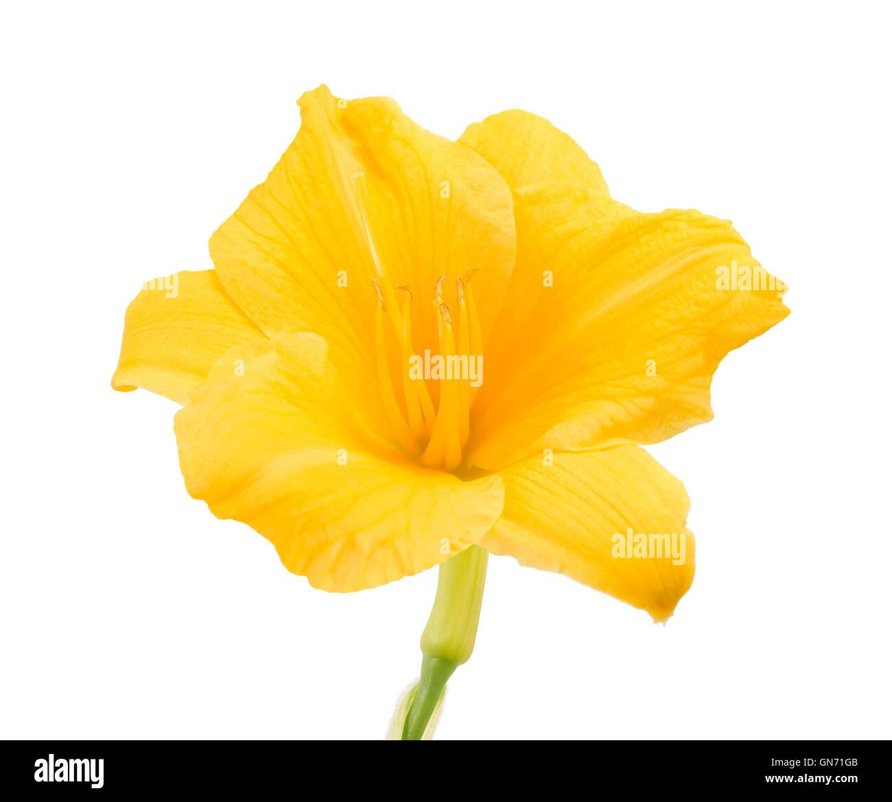 Fresh Yellow Freesia Flower On White Background Stock Photo
