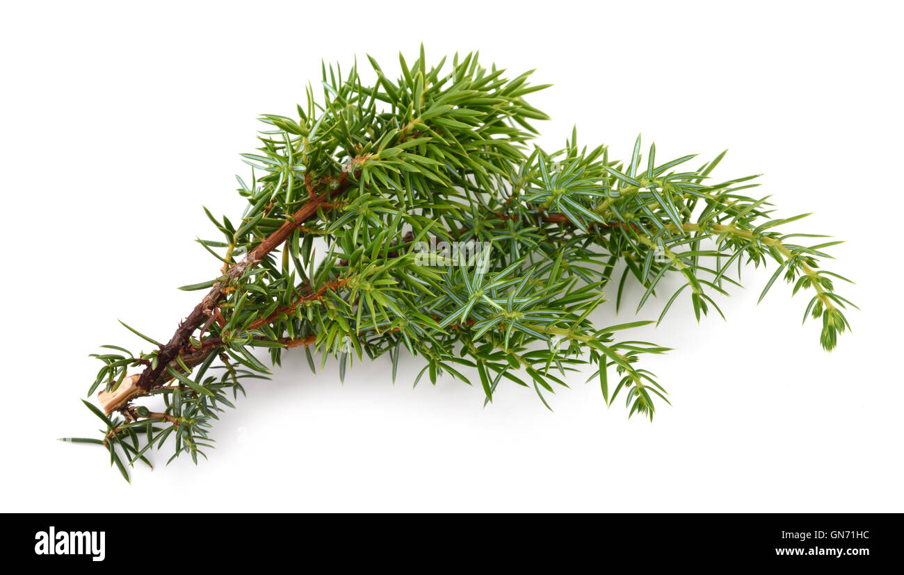 Juniper twig isolated on white background - Stock Image