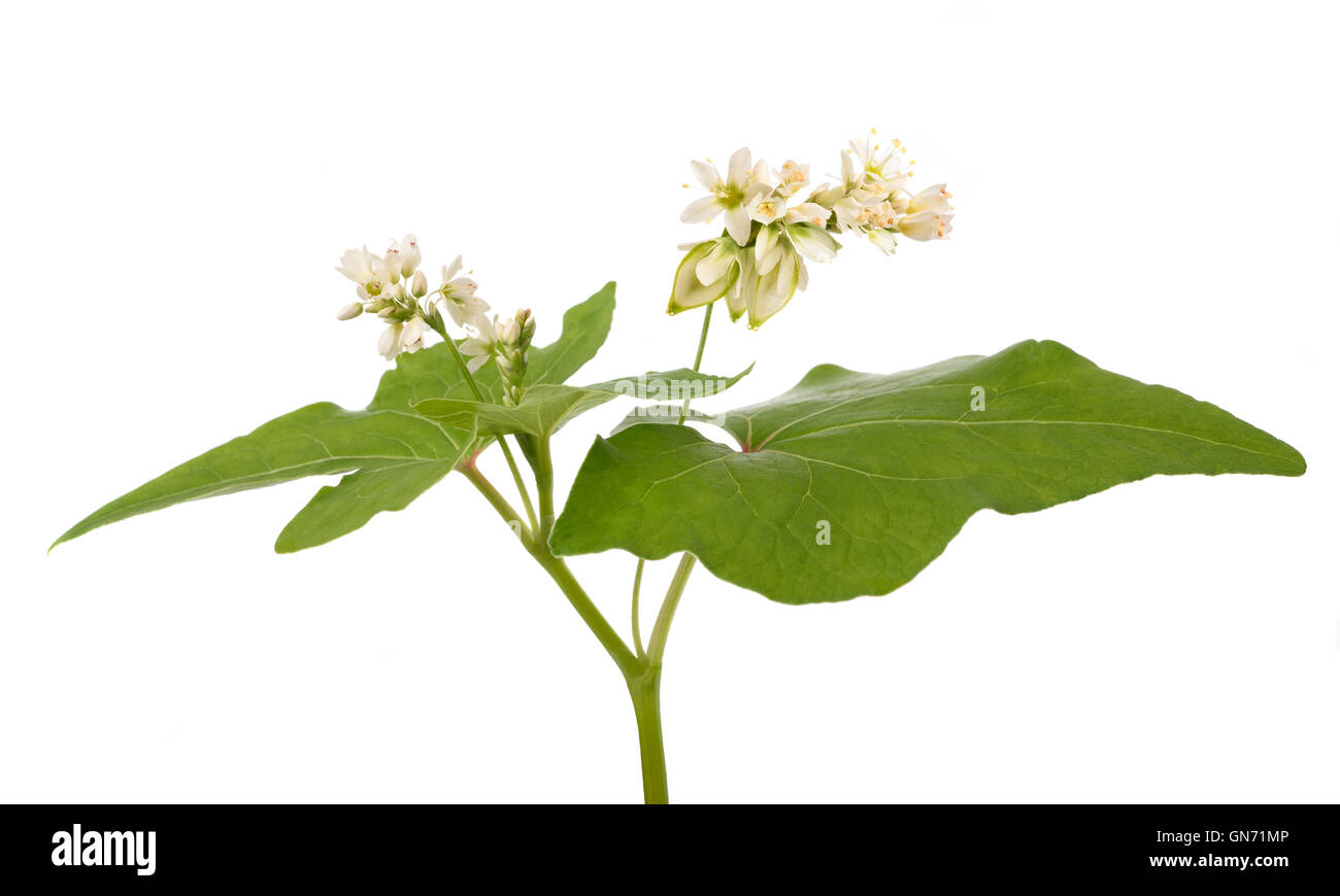 Buckwheat plant with flowers isolated on white background - Stock Image