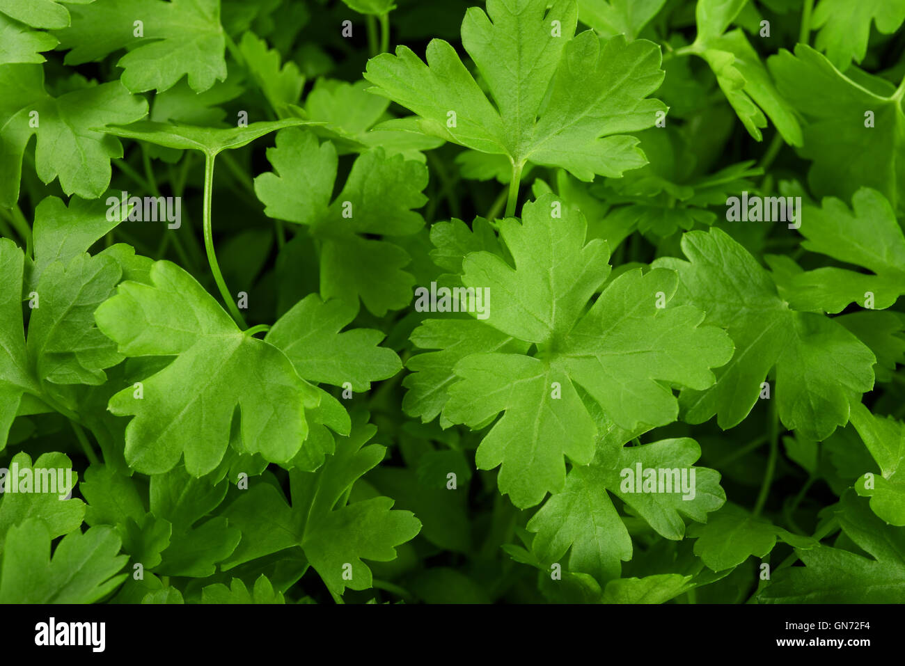 background of fresh green parsley - Stock Image