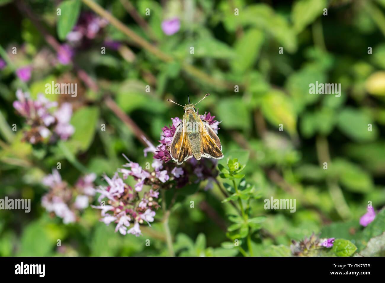 Silver-spotted skipper (Hesperia comma) Stock Photo