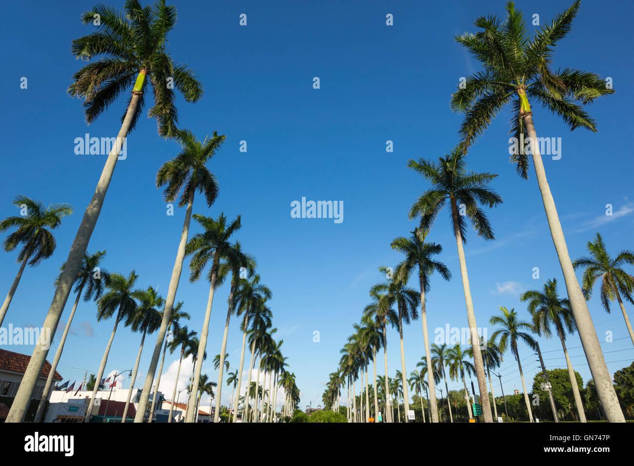 LINES OF TALL PALM TREES ROYAL POINCIANA WAY PALM BEACH FLORIDA USA Stock Photo