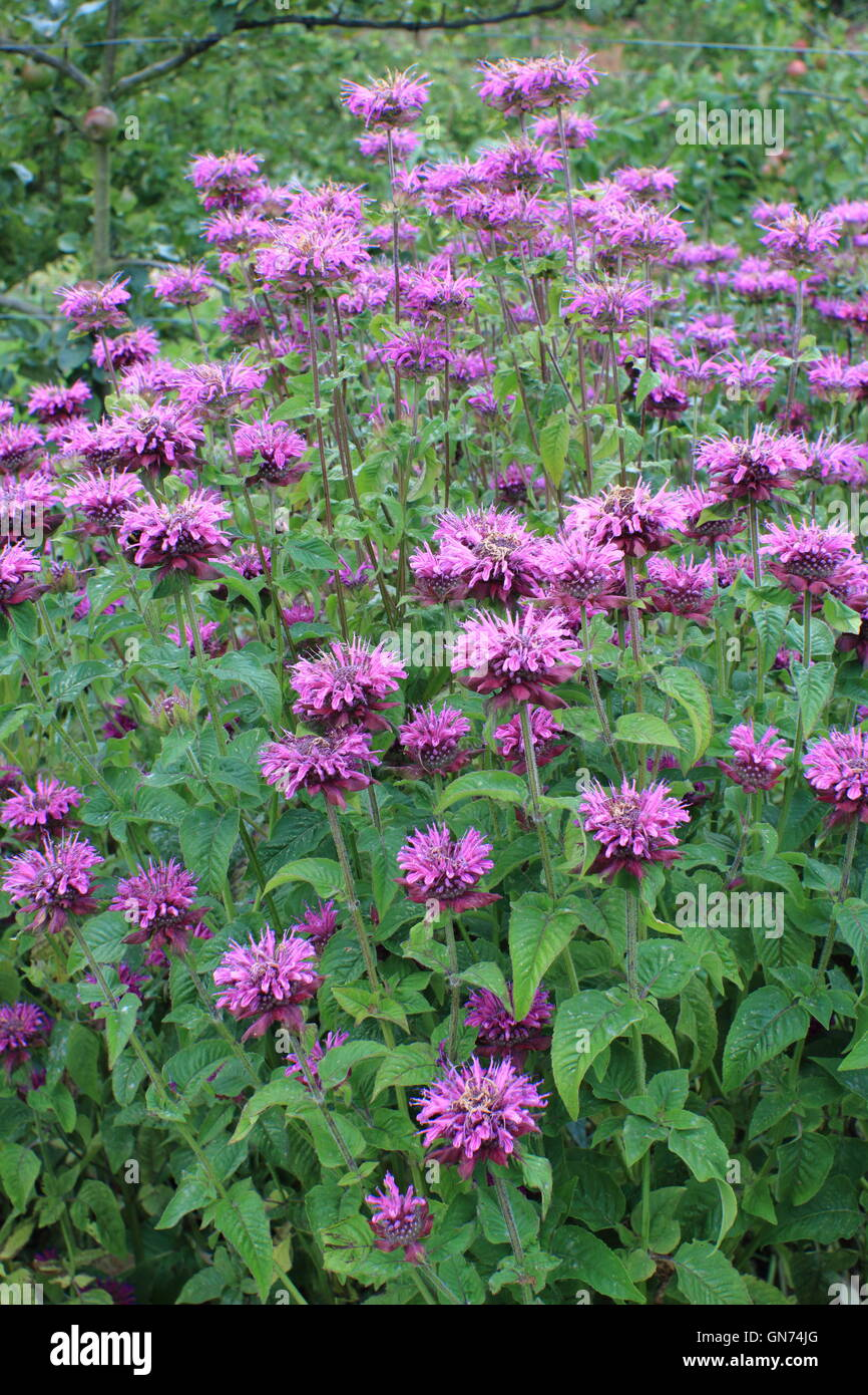 A clump of bergamot (monarda fistulosa) flowering in August in the herbaceous border of an English garden - Stock Image