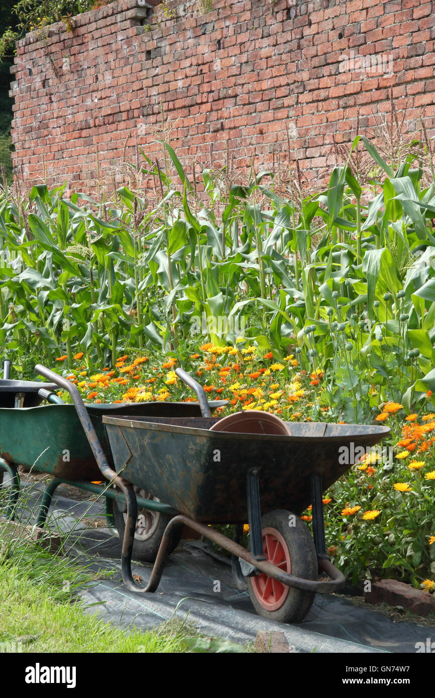 Wheelbarrows in an organic walled kitchen garden by sweetcorn and pot marigold (calendula) companion plants used - Stock Image